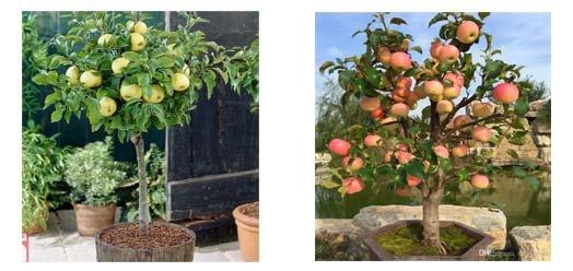 Saksıda Elma Fidanı Yetiştiriciliği